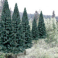 "Woodland 2 4"" RM REAL BLUE SPRUCE 18/PK, LIST PRICE $35.99"